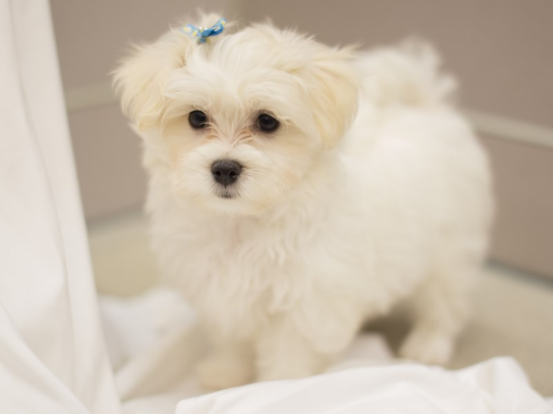 Malshipoo-Female-White-1834964-Petland Wichita, KS