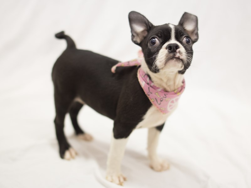 Boston Terrier-DOG-Female-Black and White-1845737-Petland Wichita, KS