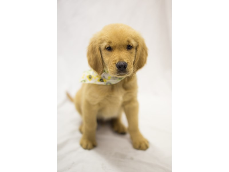 Golden Retriever-DOG-Male-Golden-1845714-Petland Wichita, KS