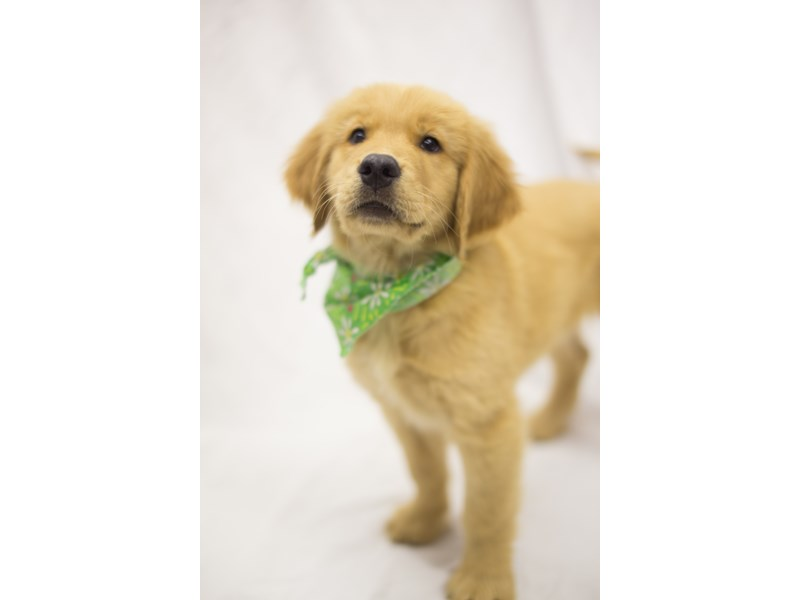 Golden Retriever-DOG-Male-Golden-1845712-Petland Wichita, KS
