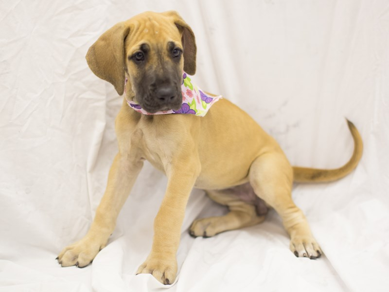 Great Dane-DOG-Female-Fawn-1845652-Petland Wichita, KS