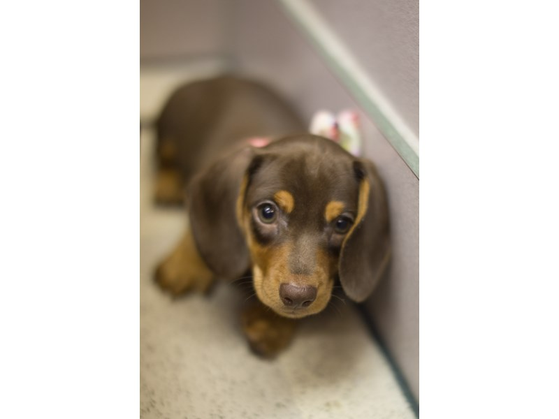 Miniature Dachshund-DOG-Female-Chocolate and Tan-1851118-Petland Wichita, KS
