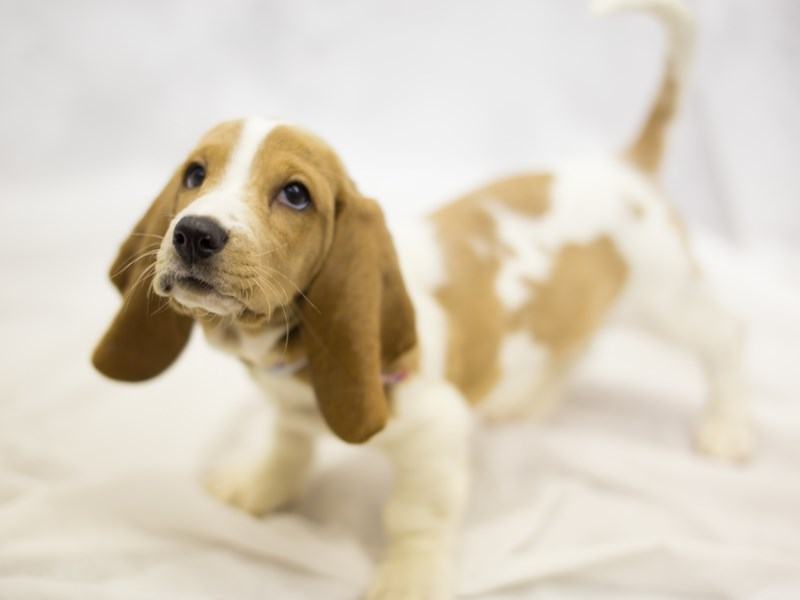 Basset Hound-DOG-Female-Lemon and White-1854846-Petland Wichita, KS