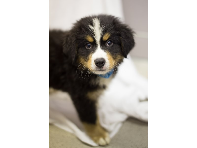 Bernese Mountain Dog-DOG-Female-Black Tri-1854862-Petland Wichita, KS