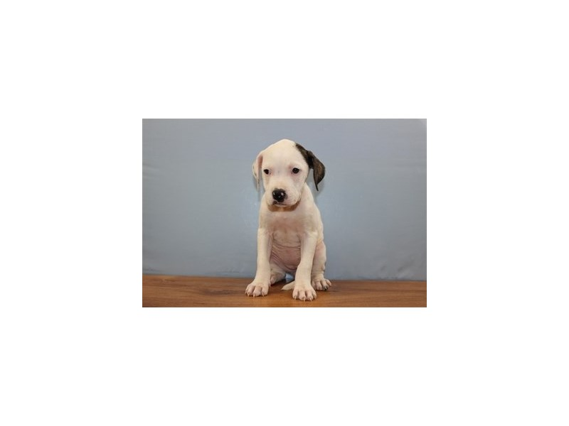 American Bulldog-Female-White and Brindle-1860683-Petland Wichita, KS
