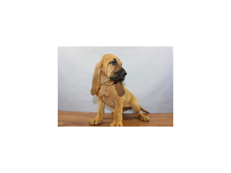 Bloodhound-Female-Red-1877408-Petland Wichita, KS