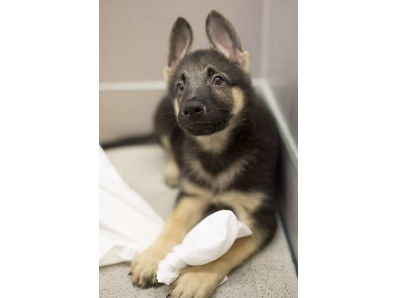 German Shepherd-DOG-Male-Black and Tan-1882209-Petland Wichita, KS