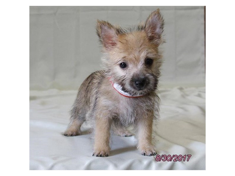 Cairn Terrier-Male-Wheaten-1888524-Petland Wichita, KS