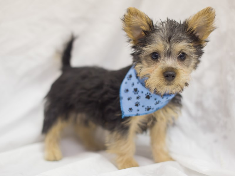 Silky Terrier-Male-Silver, Black and Tan-1889536-Petland Wichita, KS