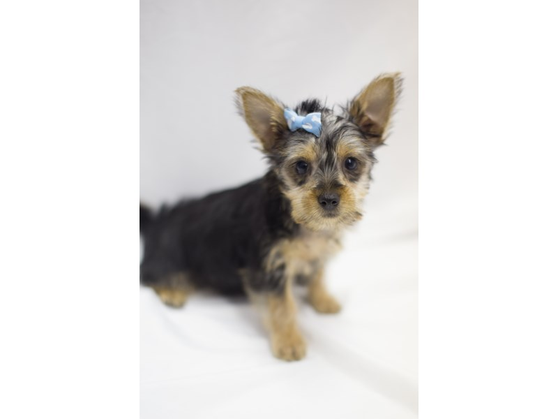 Silky Terrier-Female-Black and Tan-1900916-Petland Wichita, KS