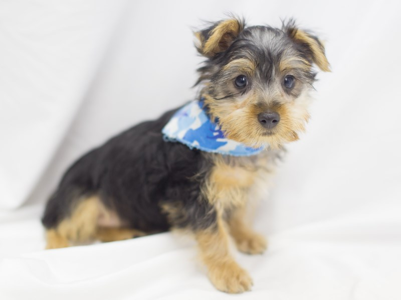 Silky Terrier-Male-Black and Tan-1900914-Petland Wichita, KS