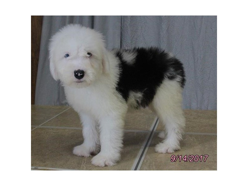 Old English Sheepdog-Male-White / Black-1894097-Petland Wichita, KS