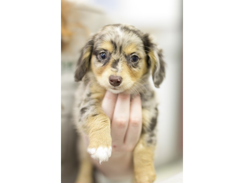 Chiweenie-Male-Silver Dapple-1916216-Petland Wichita, KS
