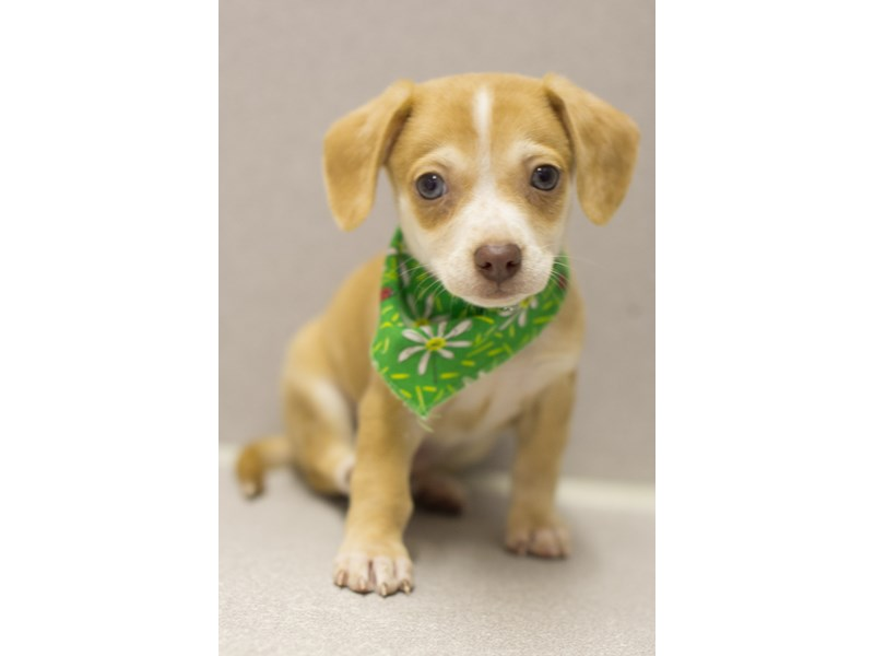 Chiweenie-Male-Fawn-1916215-Petland Wichita, KS