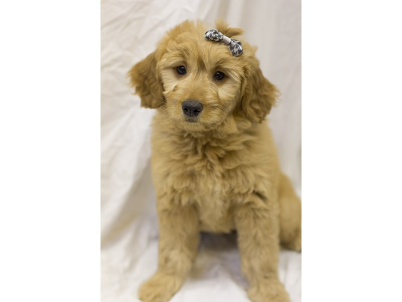 Mini Goldendoodle-DOG-Female-Golden-1914984-Petland Wichita, KS