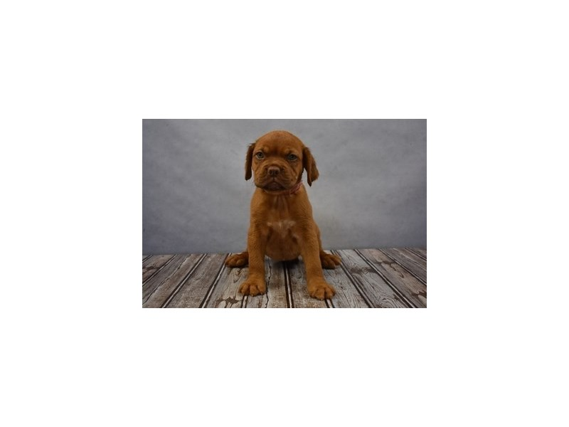 Dogue De Bordeaux-Female-Red-1925305-Petland Wichita, KS
