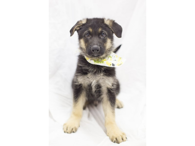 German Shepherd-DOG-Male-Black and Tan-1930616-Petland Wichita, KS