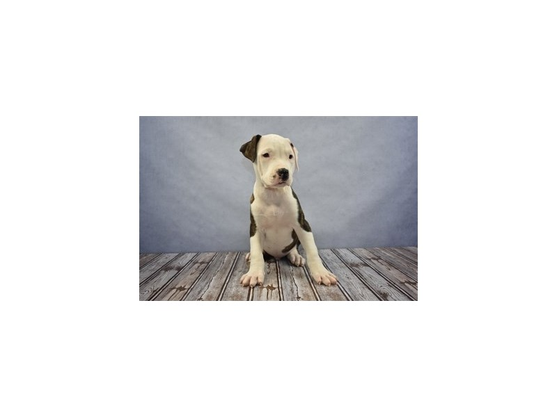 American Bulldog-Male-White and Brindle-1930808-Petland Wichita, KS