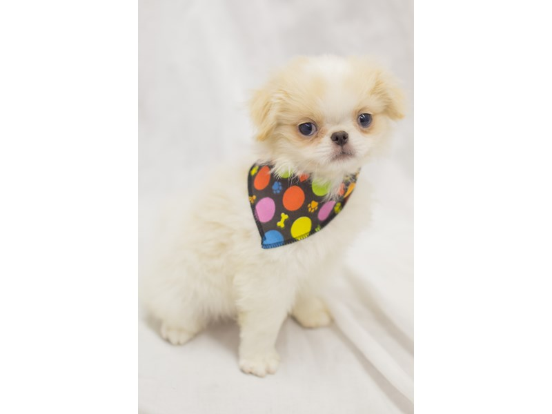 Japanese Chin-Male-Gold and White-1936781-Petland Wichita, KS