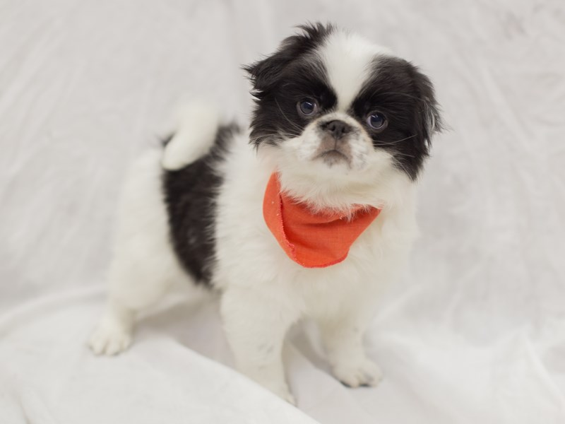 Japanese Chin-Male-Black and White-1936774-Petland Wichita, KS