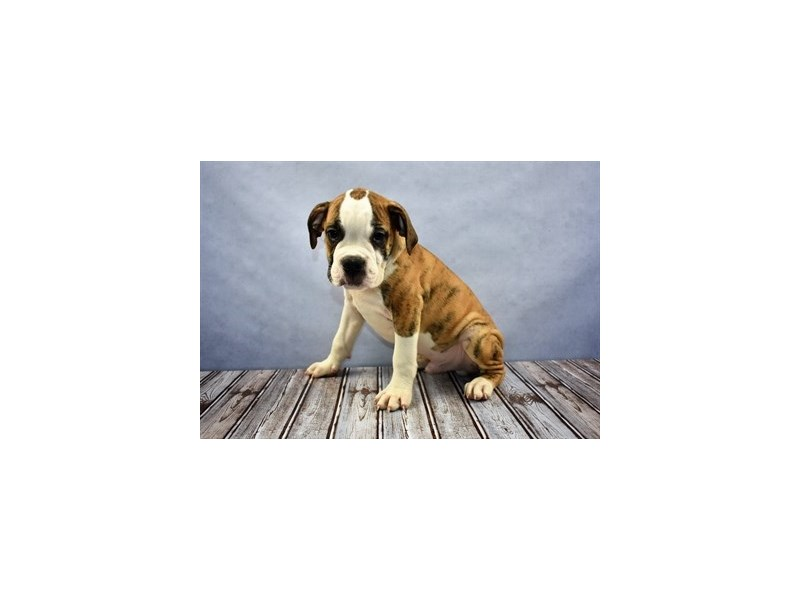 Old English Bulldog-Male-Red Brindle and White-1945293-Petland Wichita, KS