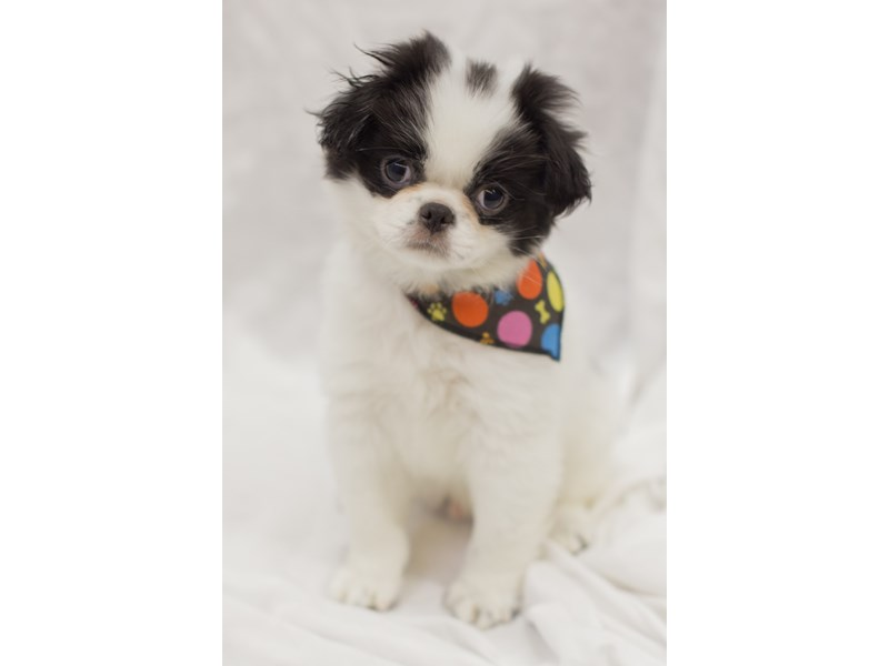 Japanese Chin-Male-Black and White-1936779-Petland Wichita, KS