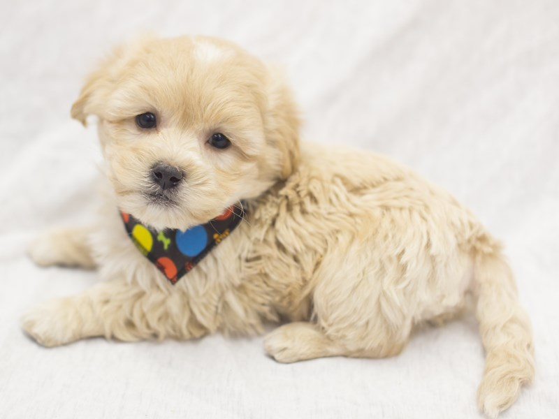 Lhasapoo-Male-Apricot-1988848-Petland Wichita, KS