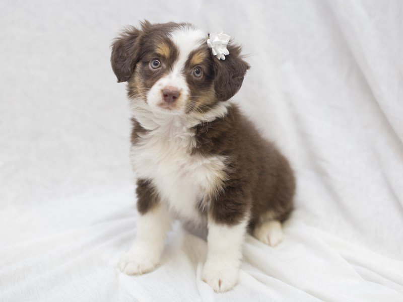 Toy Aussie-DOG-Female-Red Tri-1994009-Petland Wichita, KS