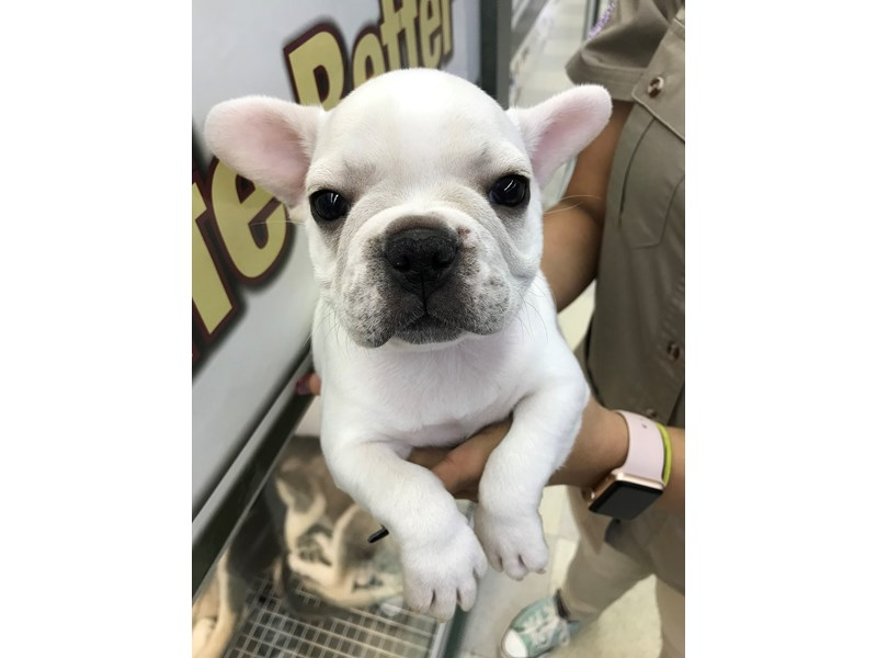 French Bulldog-DOG-Male-White with Fawn Markings-1979385-Petland Wichita, KS