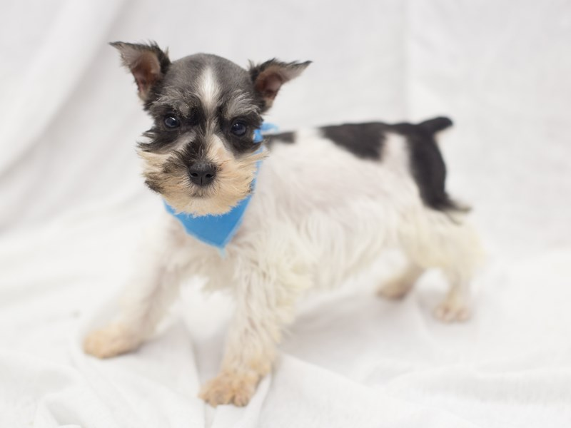 Miniature Schnauzer-DOG-Male-Parti-1978758-Petland Wichita, KS