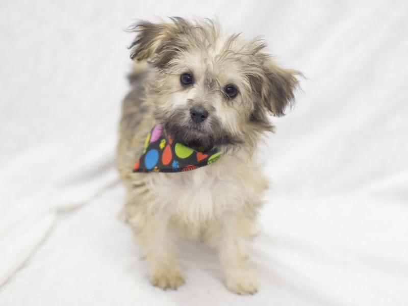 Havanese-DOG-Male-Brown-1978754-Petland Wichita, KS