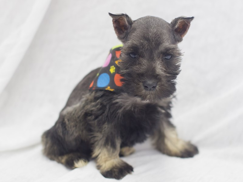 Miniature Schnauzer-DOG-Male-Salt and Pepper-1988805-Petland Wichita, KS