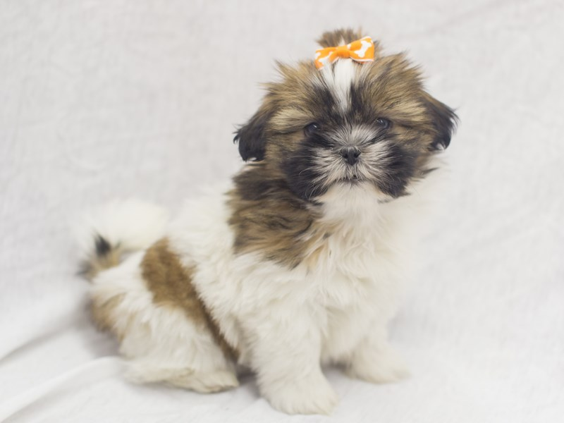 Shih Tzu-DOG-Female-Brown and White-1988819-Petland Wichita, KS