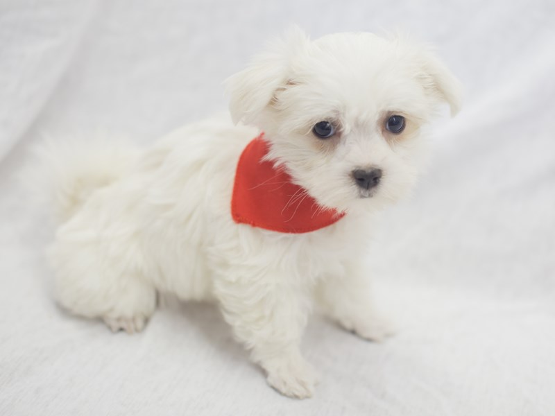 Maltese-DOG-Male-White-1988825-Petland Wichita, KS