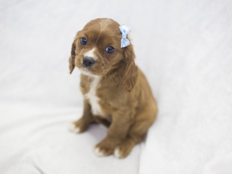 Cavalier King Charles Spaniel-DOG-Female-Red-1988833-Petland Wichita, KS