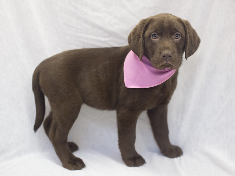 Labrador Retriever-DOG-Female-Chocolate-1990143-Petland Wichita, KS