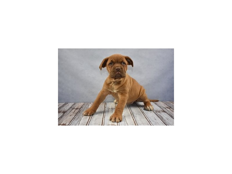Dogue De Bordeaux-DOG-Female-Red-1993052-Petland Wichita, KS
