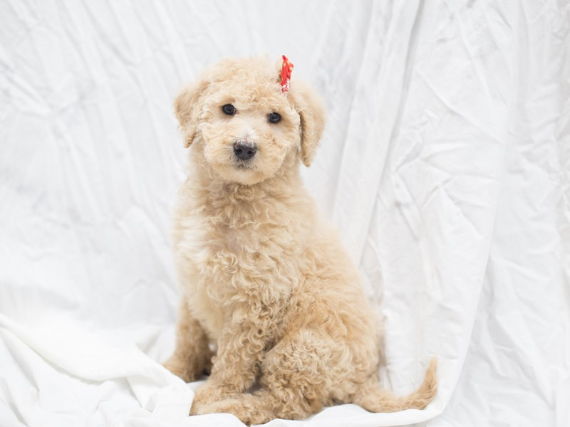 2nd Generation Goldendoodle
