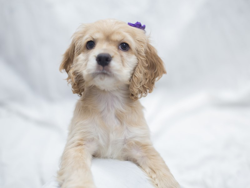 Cocker Spaniel-DOG-Female-Buff-1999565-Petland Wichita, KS