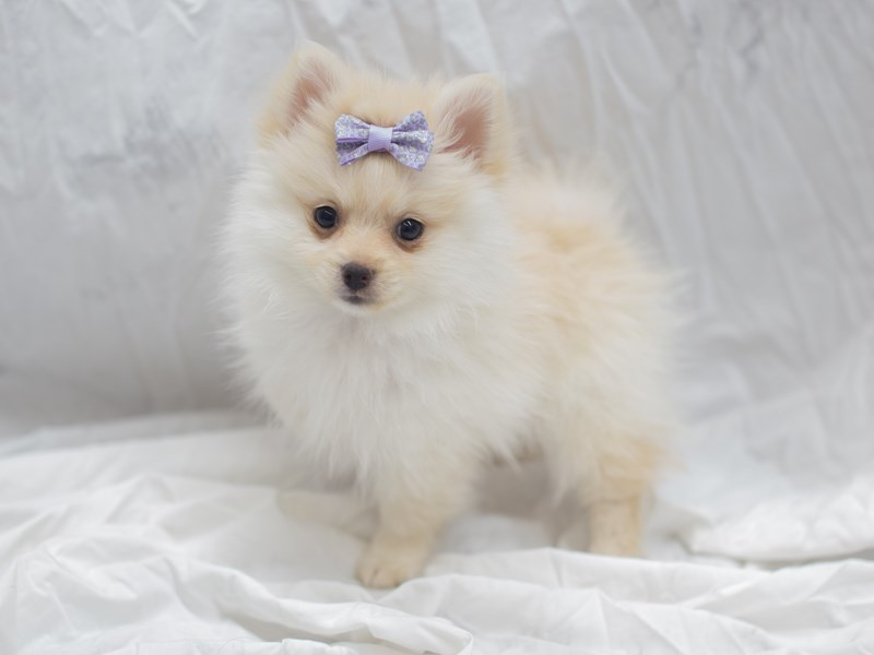 Pomeranian-DOG-Female-Cream (Dark)-1999439-Petland Wichita, KS