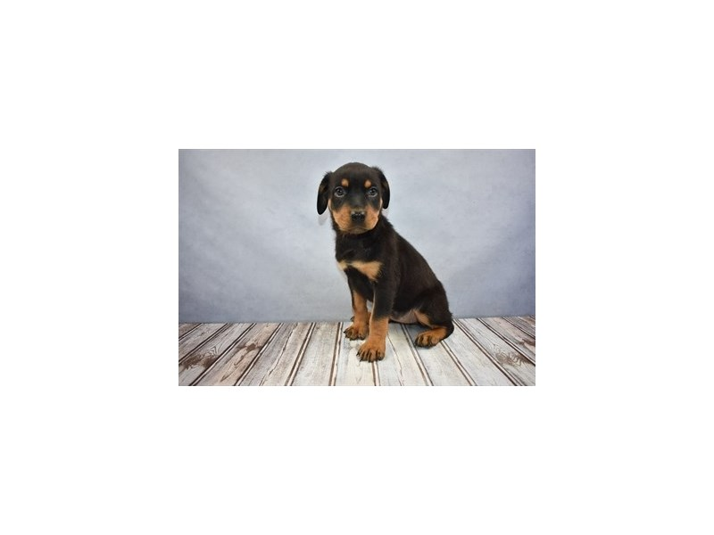 Rottweiler-DOG-Female-Black and Rust-2004639-Petland Wichita, KS