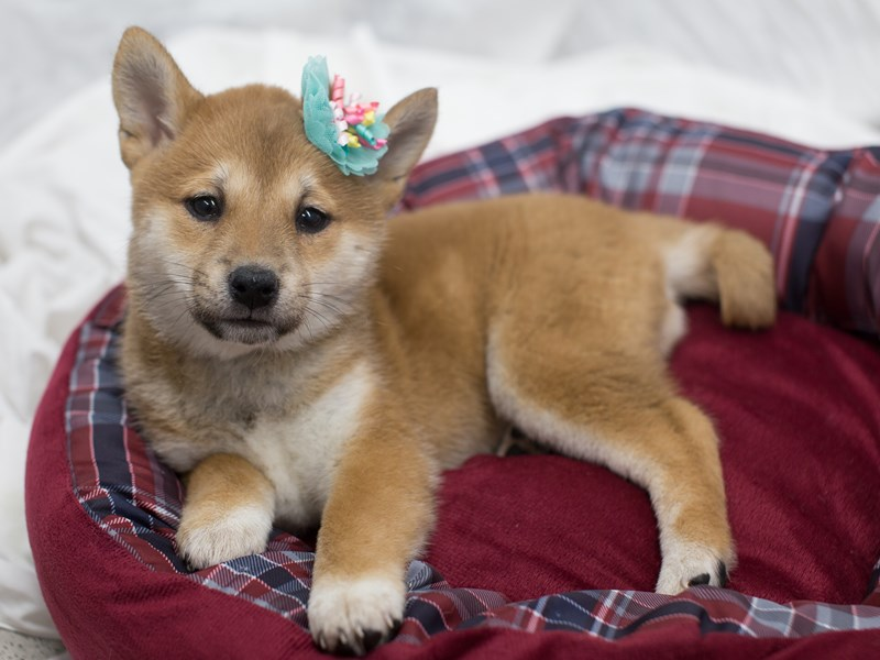 Shiba Inu-DOG-Female-Sesame-2010400-Petland Wichita, KS