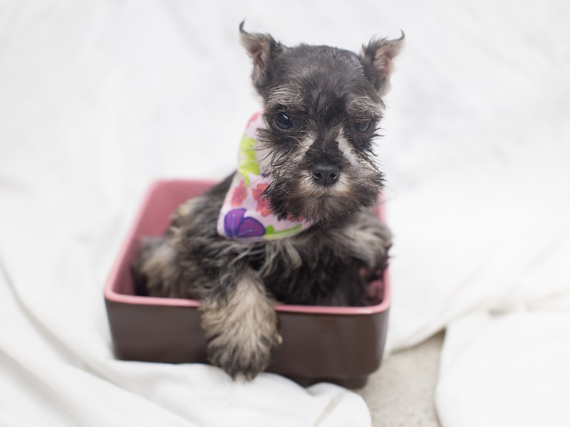 Miniature Schnauzer-DOG-Female-Salt and Pepper-2010392-Petland Wichita, KS