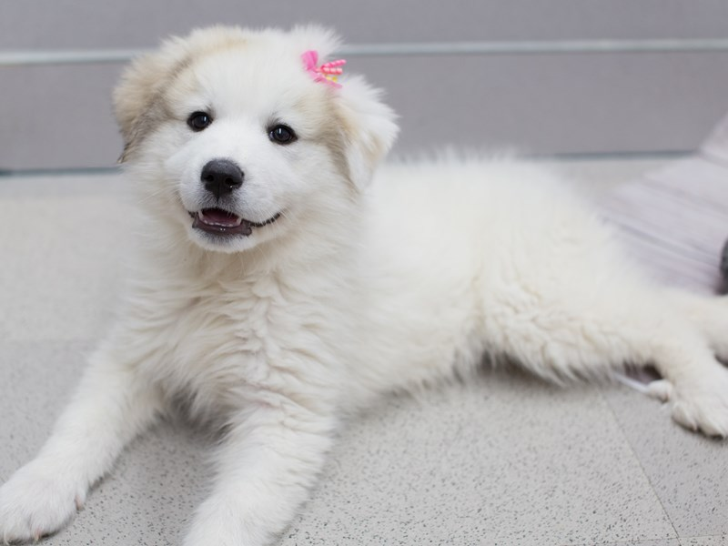 Great Pyrenees-Female-White-2015025-Petland Wichita, KS