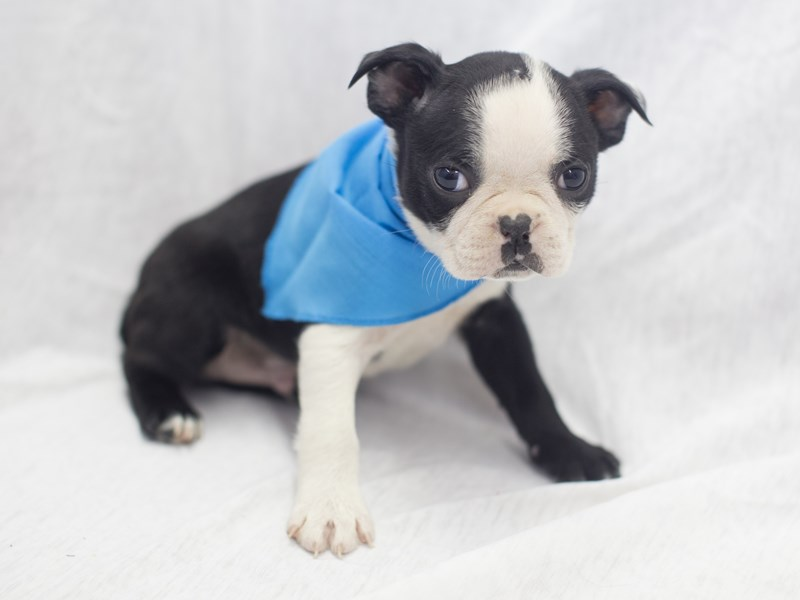 Boston Terrier-DOG-Female-Black and White-1988844-Petland Wichita, KS