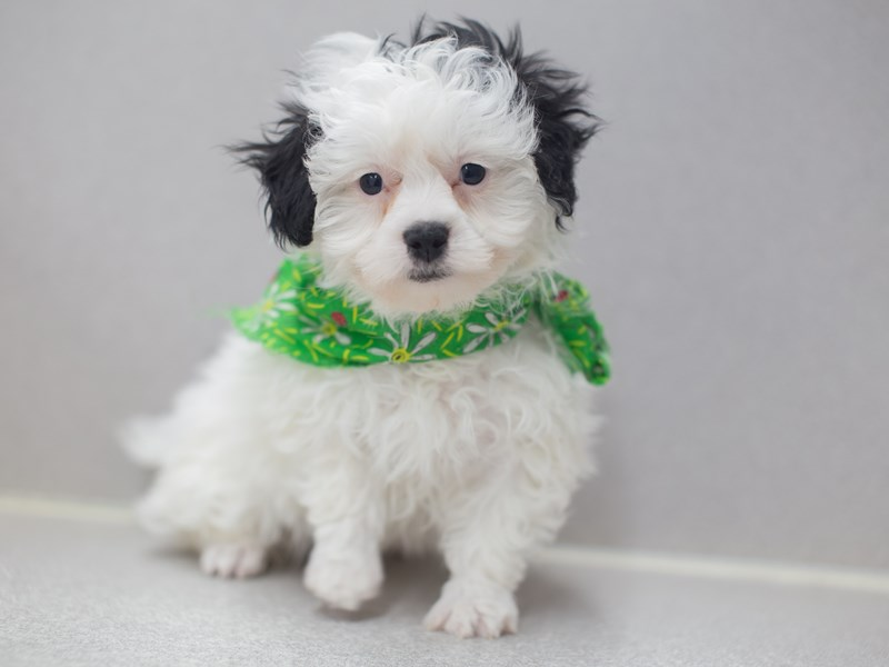 Toy ShihPoo-DOG-Male-Black and White-1999588-Petland Wichita, KS