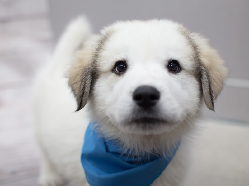 Great Pyrenees-Male-White-2015180-Petland Wichita, KS