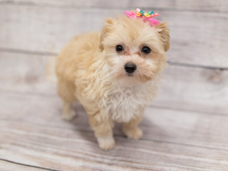 Toy MaltiPoo-DOG-Female-Red-2015575-Petland Wichita, KS
