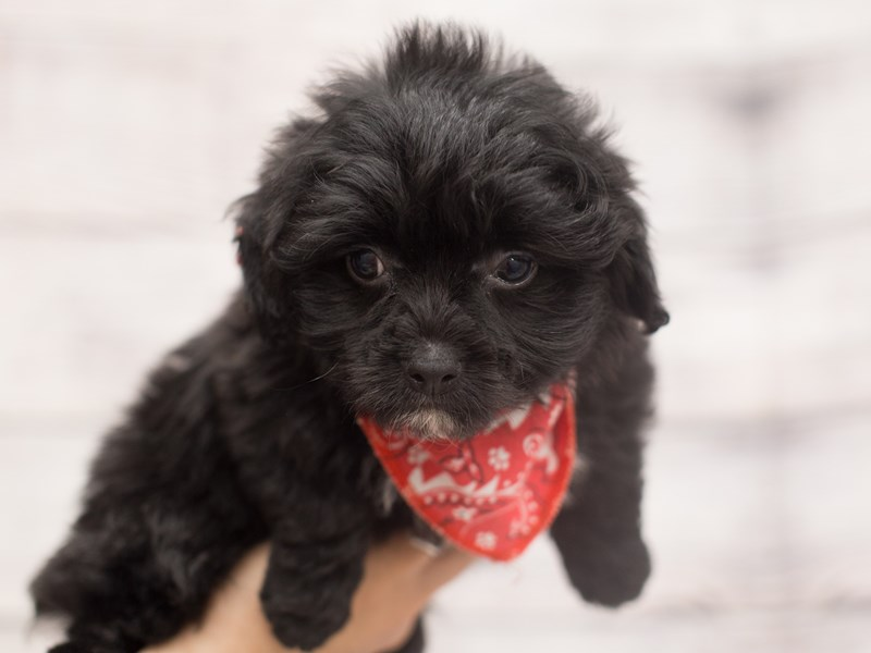Toy ShihPoo