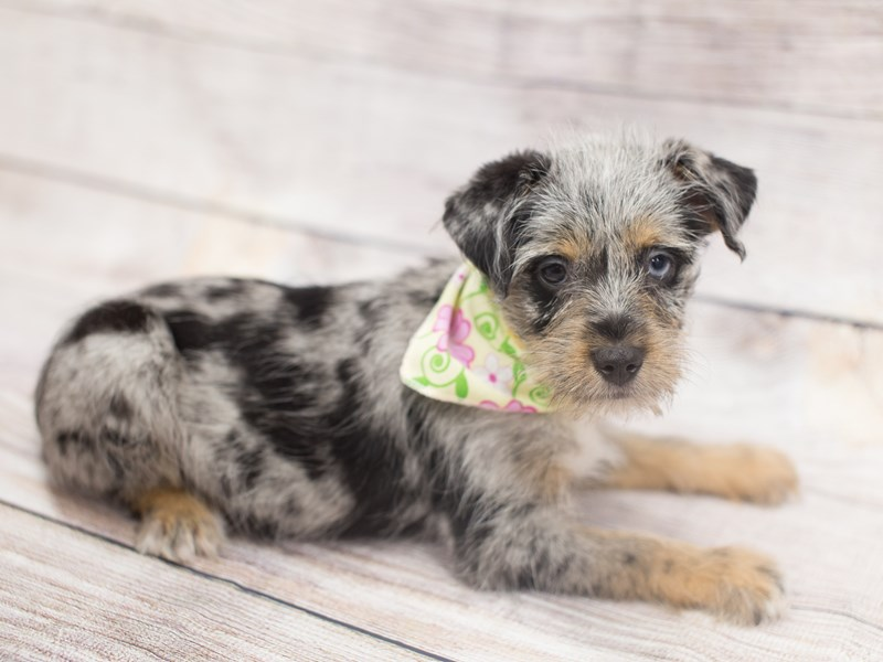 Miniature Schnauzzie-Female-Blue Merle-2020866-Petland Wichita, KS